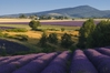 the famous lavender fields